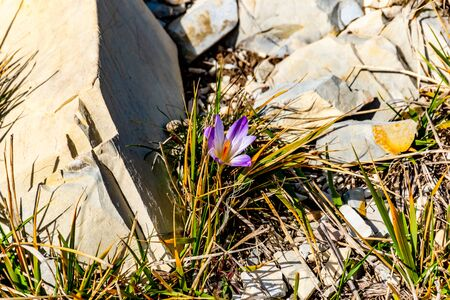 A close-up shot of one blooming Crocus versicolor flower in the French Alps mountains