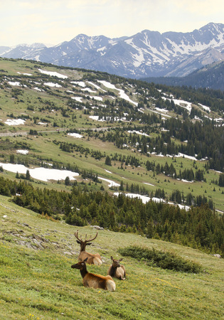 Elk resting in yellow wildflowers and green grass and snow in mountains Stock Photo