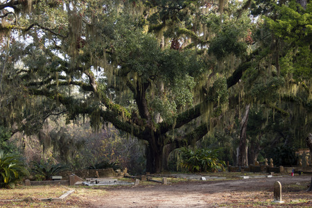 cemeterys massive tree with spanish moss and ivy Stock Photo