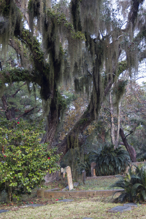 Huge tree with spanish moss protecting old tombstones Banco de Imagens