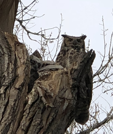 Wild Big Horned owl parent with two owlets in nest