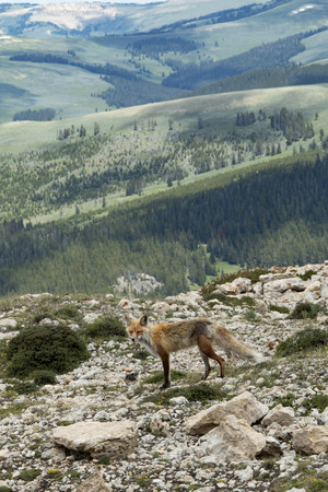 Wild red Fox in the Big Horn Mountains Banco de Imagens