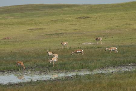 Wild Antelope grazing by shallow muddy waterhole