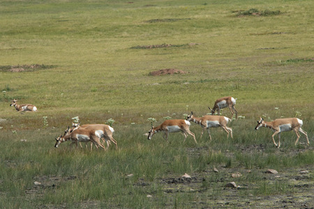 Wild antelope stepping through grassland 스톡 콘텐츠