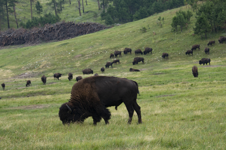 Wild Buffalo Bull with distant herd