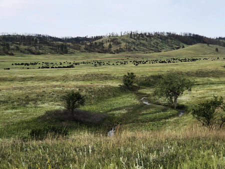 Prairie grass with Buffalo herd and burned trees in the distance Banco de Imagens