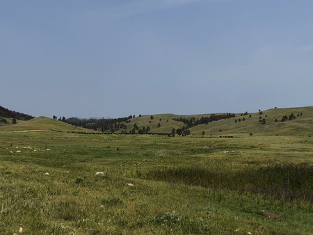 Distant buffalo herd on a green prairie