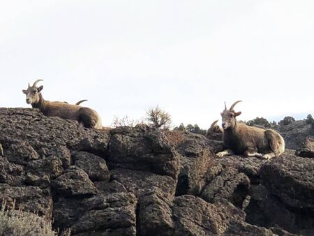 Mountain goats on rocky outcropping in New Mexico Banco de Imagens
