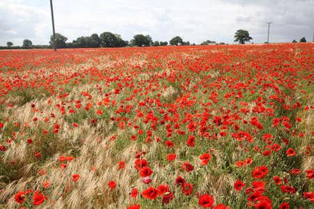 hundreds: Hundreds of Poppies Stock Photo