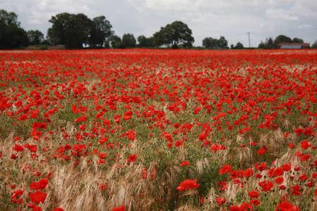 overrun: Corn field overrun by Poppies