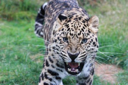 threateningly: Growling Leopard