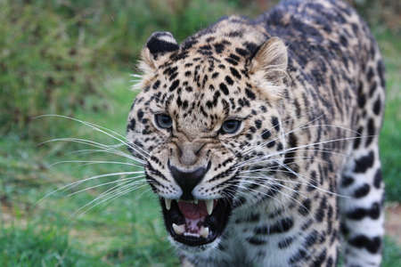 clouded: Snarling Leopard