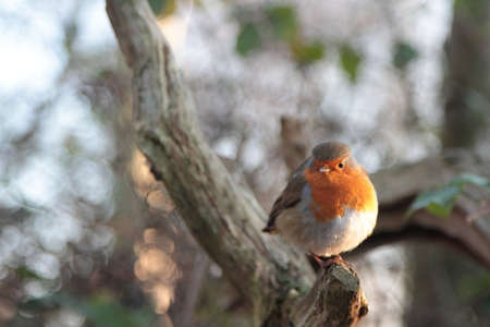 plump: Plump Robin redbreast Stock Photo