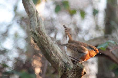 Perching Winter Robin