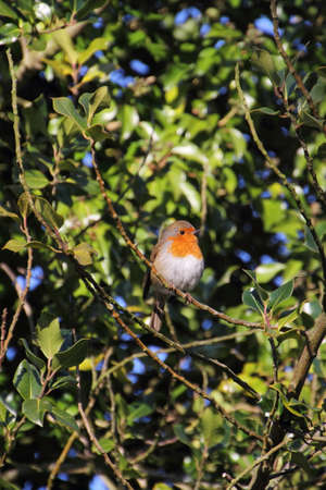 Robin redbreast perching among green leaves Imagens