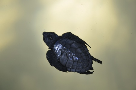 baby turtle: An olive ridley baby turtle at a Turtle Hatchery in Sri Lanka