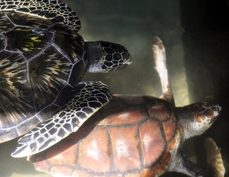 plastron: Two Green Sea Turtles at a Turtle Hatchery in Sri Lanka