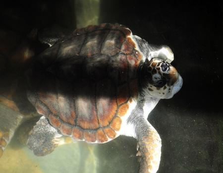 anaerobic: A Green Sea Turtle at a Turtle Hatchery in Sri Lanka
