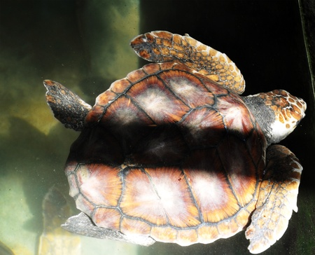 hatchery: A Green Sea Turtle at a Turtle Hatchery in Sri Lanka