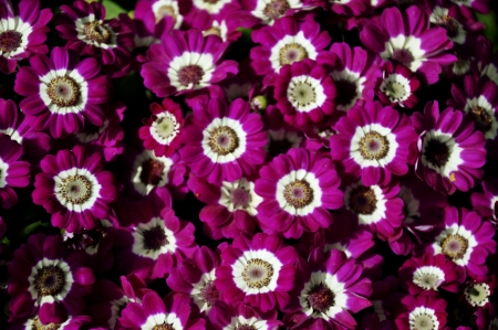senecio: Pink Cineraria, Senecio hybridus Stock Photo