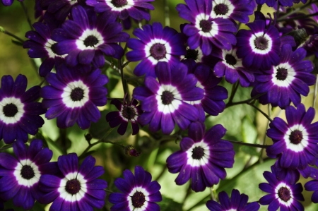 senecio: Purple Cineraria, Senecio hybridus against greenery