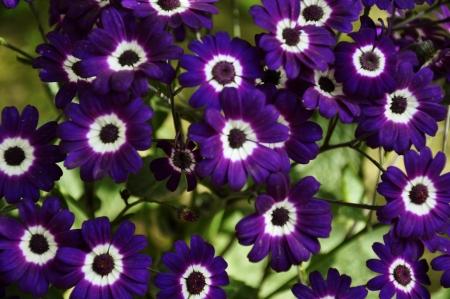 Purple Cineraria, Senecio hybridus against greenery Stock Photo - 13714372