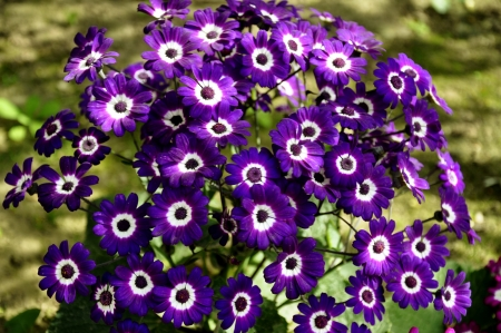 senecio: A Bunch of Purple Cineraria, Senecio hybridus
