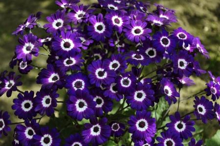 senecio: A Bunch of Purple Cineraria, Senecio hybridus