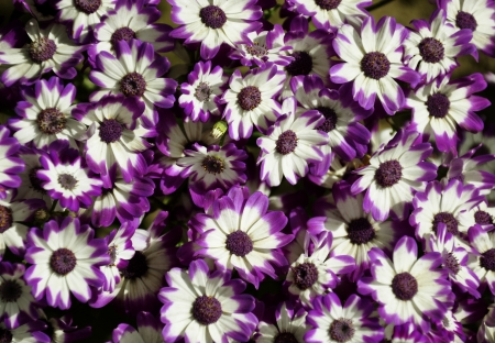 Purple Cineraria, Senecio hybridus photo