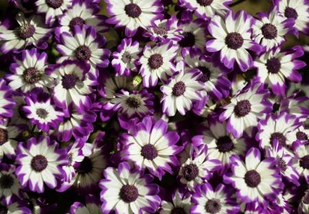 detail of bunch: Purple Cineraria, Senecio hybridus