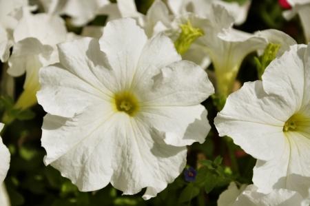 Beautiful White Petunias in Bloom Stock Photo - 13955114