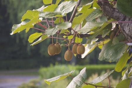 kiwi fruta: El kiwi madura en un vino le�osa en Suiza Foto de archivo
