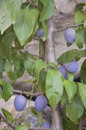 A bunch of prunes growing on a tree in Switzerland photo