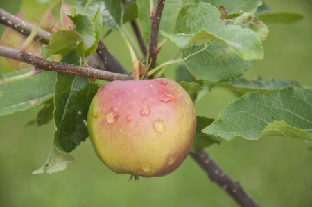 An apple growing in the garden  photo