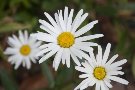 A Bunch of White Daisies