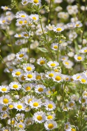 gstaad: A field of beautiful white daisies in Gstaad, Switzerland Stock Photo