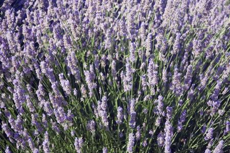 vevey: A field of beautiful lavender in Vevey, Switzerland Stock Photo