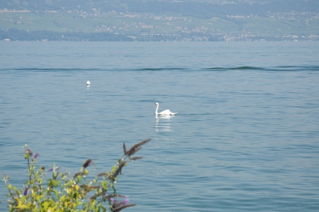 A swan swimming in Lake Geneva photo