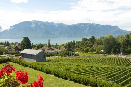 vevey: Houses and geraniums amidst vineyards in Vevey, Switzerland