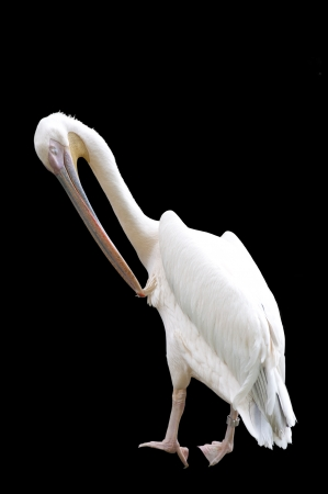 Preening Pelican Isolated on Black Stock Photo - 23991257