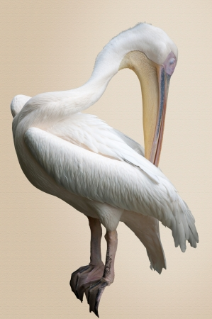 preening: Preening Pelican Stock Photo