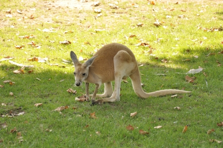 macropus rufus: A Red Kangaroo in the Shade on a Sunny Day Stock Photo