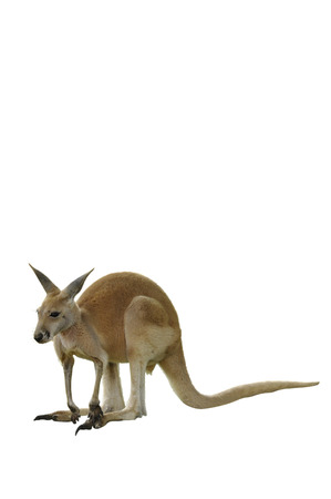 macropus rufus: A Red Kangaroo Isolated on White