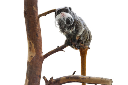 imperator: Isolated Emperor Tamarin, Monkey with a Mustache