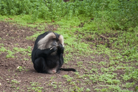 Baboon Cleaning His Teeth