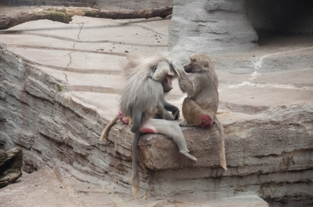 social behaviour: Baboons Grooming Each Other as a Part of Their Social Behaviour Stock Photo