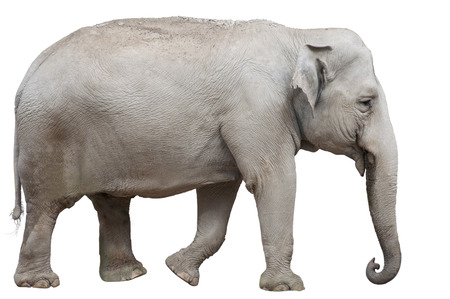 wallowing: Isolated Asian Elephant
