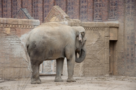 wallowing: An Asian or Asiatic Elephant