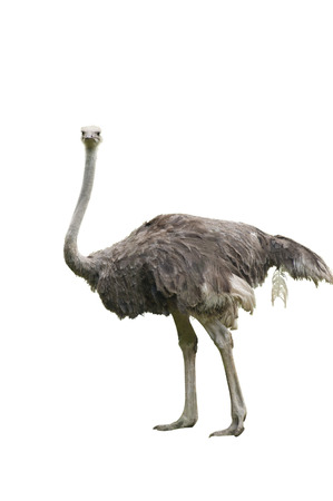 A Beautiful Female Ostrich Isolated on White photo