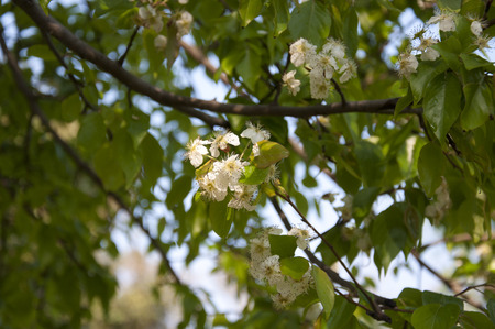 pyrus: The Wild Himalayan Pear  Pyrus pashia  in Bloom in Spring in India